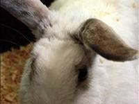 Red Eyed White Lionhead Buck - $15 Siamese Sable