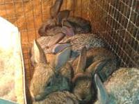 For Sale Bunnies they are cute and cuddly make good