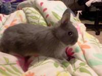One Spotted and Two Chinchilla. Born October 15th,