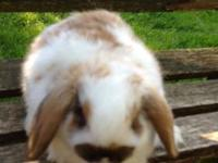 The smallest of all lop bunnies, Hollands are sweet,