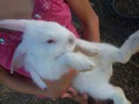 Bunnies.....$8.00 each they are 1 1/2 months old. I