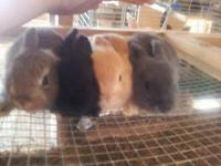 I have lots of rabbits and bunnies! 2 boy Netherland