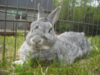 Bunny Rabbit - Ash - Medium - Adult - Male - Rabbit Ash