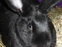 Bunny Rabbit - Byron - Medium - Adult - Male - Rabbit