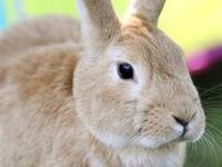 Bunny Rabbit - Cher - Medium - Adult - Female - Rabbit