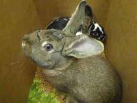 Bunny Rabbit - Chewy - Small - Young - Male - Rabbit