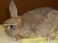 Bunny Rabbit - Gus - Medium - Adult - Male - Rabbit Gus