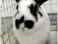 Bunny Rabbit - Lola - Medium - Adult - Female - Rabbit