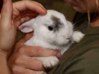 Bunny Rabbit - Nibbles - Small - Baby - Female -