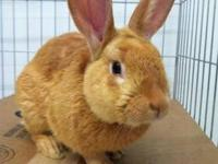 Bunny Rabbit - Rusty - Medium - Adult - Male - Rabbit