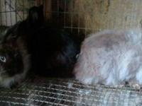 I have the following: 2 Lionheads does- sisters..