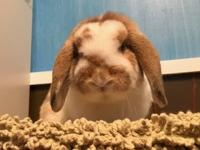 Bunny JR is an Orange Spotted White Mini Lop boy. Bunny
