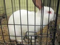 Bunny Rabbit - Chris - Large - Young - Male - Rabbit