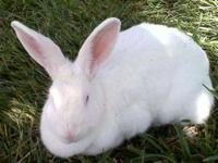 Bunny Rabbit - Courtesy Listing-domestic Rabbit - Small