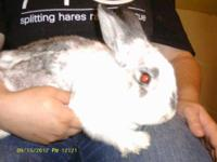 Bunny Rabbit - Lou - Small - Adult - Male - Rabbit To