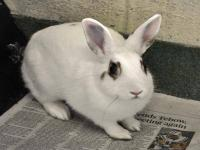 Bunny Rabbit - Peaches - Small - Young - Female -