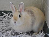 Bunny Rabbit - Thor - Small - Young - Male - Rabbit
