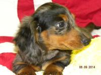 BURKE is a male longhair black & & tan silver dappled