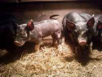 S&K Hill Farms is now taken orders for baby pigs
