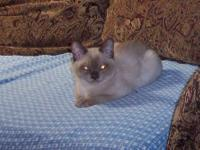 Champagne Burmese Kittens. We have two male Burmese