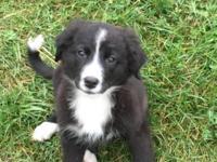 I have one beautiful Burnese Mountain Dog/English