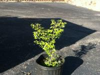 Burning bushes in 3gallon containers 16-22inches plenty