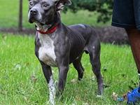 Burt's story This adorable grey bully boy with the