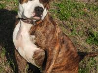 Buster is a large male Bulldog mix, brindle and white