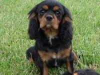 Buster is a very handsome male .He is black and tan