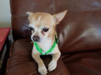 Buster is a 5 year old chihuahua who came to us after