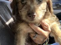Buster is a 2 month old male terrier mix for Adoption!