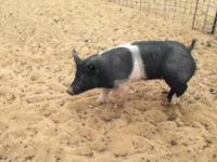 3 hamp pigs weighing 160 plus lbs for $150.00 and 1