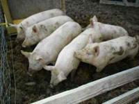 BUTCHER PIGS READY TO GO DEC 1ST. GRAIN FED AND