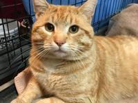 Butterball is a 12 lb male friendly orange tabby.  If