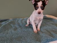 We have four beautiful 9 week old Chihuahua puppies.