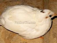 Cute little button quail looking for a new home.