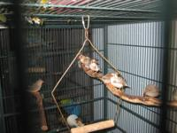 Button Quails for sale. These little guys are very