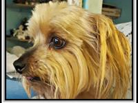 Button is a 6 year old Yorkie.  He is neutered and will