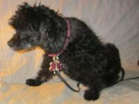 Buttons is a 10 year old pure poodle, a spayed female.