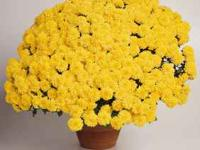 We have beautiful mums on sale now @ buy 1, get 1 (of