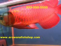 "We have the most healthy and colorful ""A"" Grade arowana"
