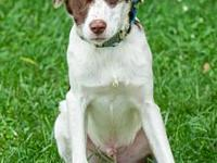 Buzz's story Buzz is a young Brittany Spaniel/English