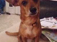 Buzz is a 2-3yr old chiweenie weighing in at about