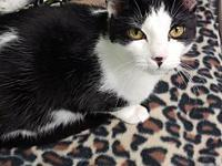 Buzz's story Adorable DSH Black & White Male Kitten