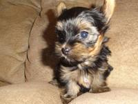 I have 1 female Yorkshire Terrier puppy born