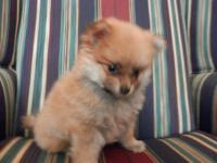 ckc pomeranian very loving little boy looking for a