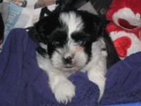 We have 2 12 Week old shih-tzu male and