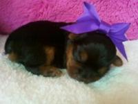 C.K.C. TEACUP YORKIE PUPPIES,TAILS