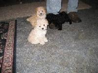 I have 3 males they are toy poodles c.k.c reg . tail