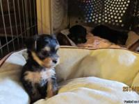 We have 1 women and 2 male yorkie young puppies